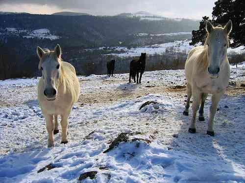 chevaux neige.jpg
