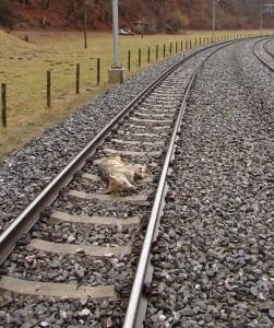 loup-tué-train-suisse-251x300.jpg