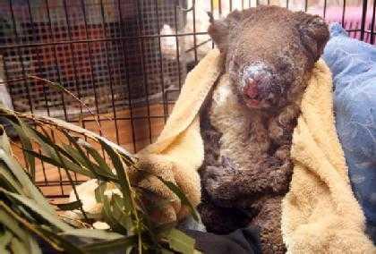 koala-420x0.jpg