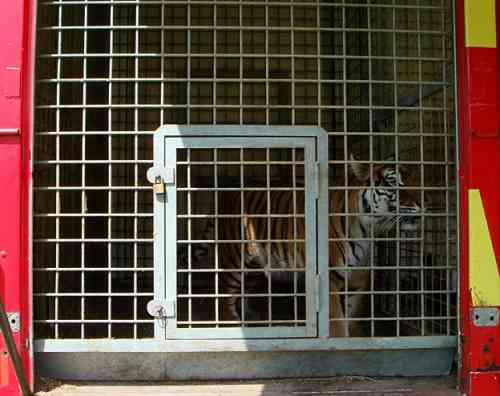 tigredeboutencagedroit10.jpg