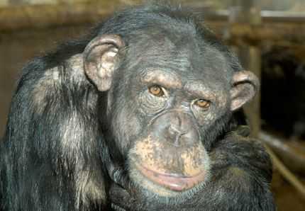 0305-Ganserndorf-chimpanze-A.jpg