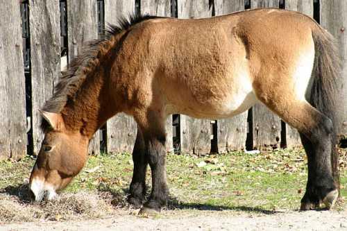 Przewalskis-horse.jpg
